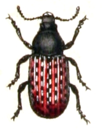 Illustration von Anthribus fasciatus