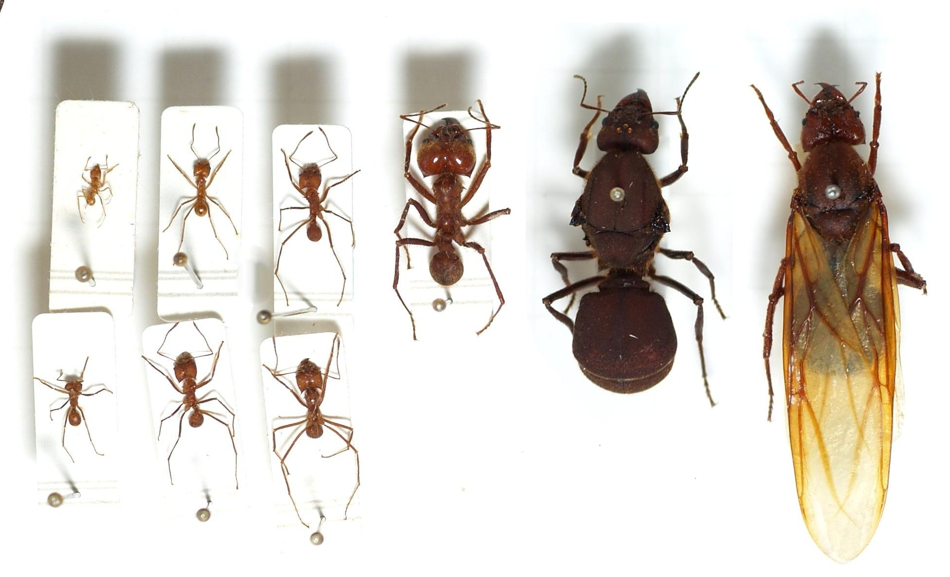 Left most 7 are workers of various castes, right 2 are queens (rightmost: winged form).