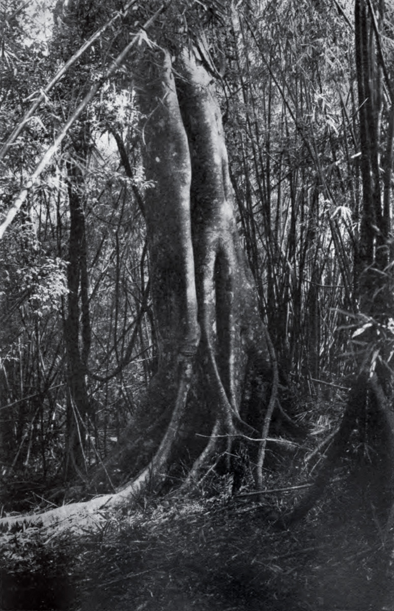 Balete_from_Forest_of_the_Philippines_plate8_part2.jpg