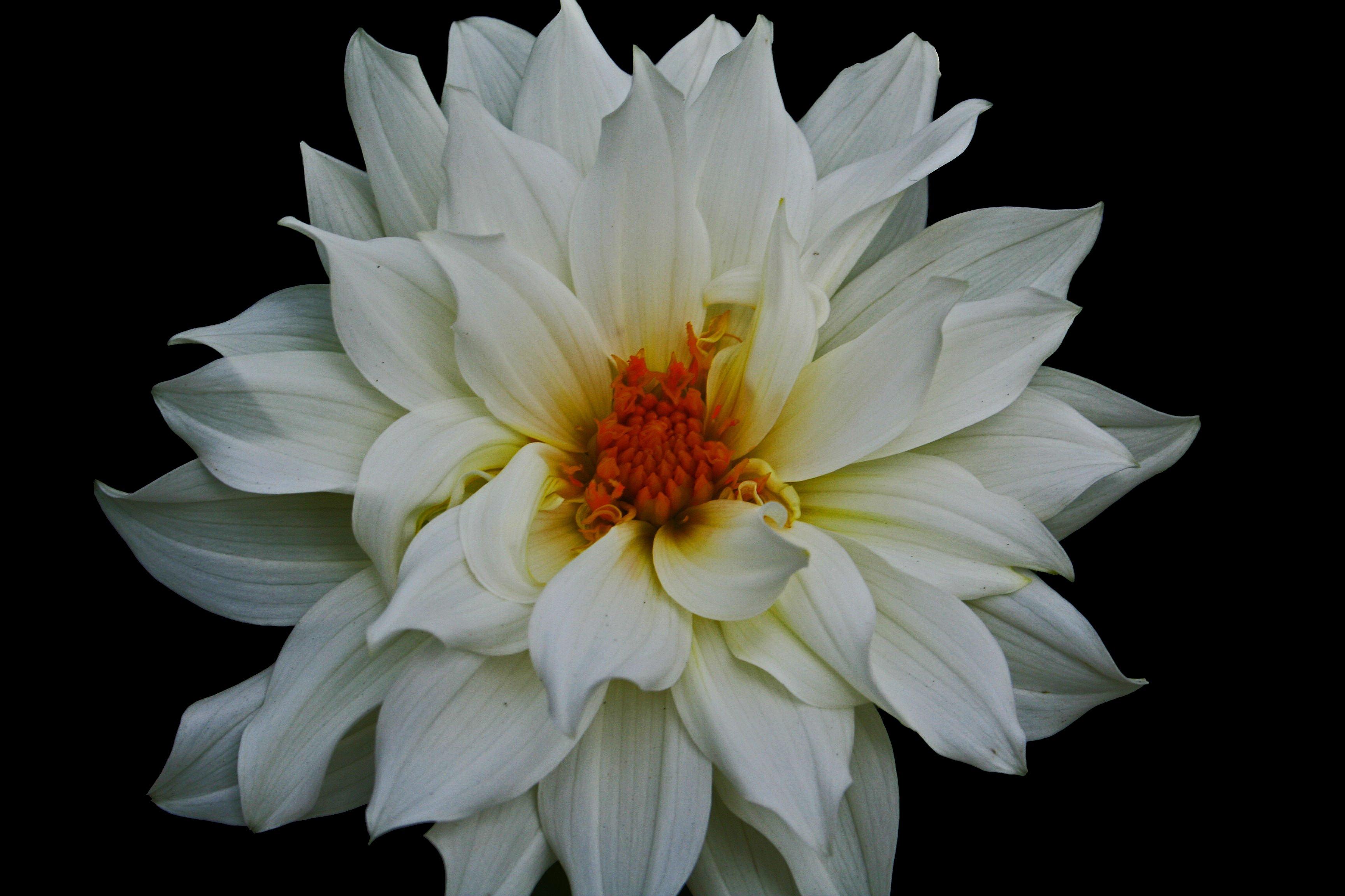 Filebeautiful white flower west virginia forestwanderg filebeautiful white flower west virginia forestwanderg izmirmasajfo