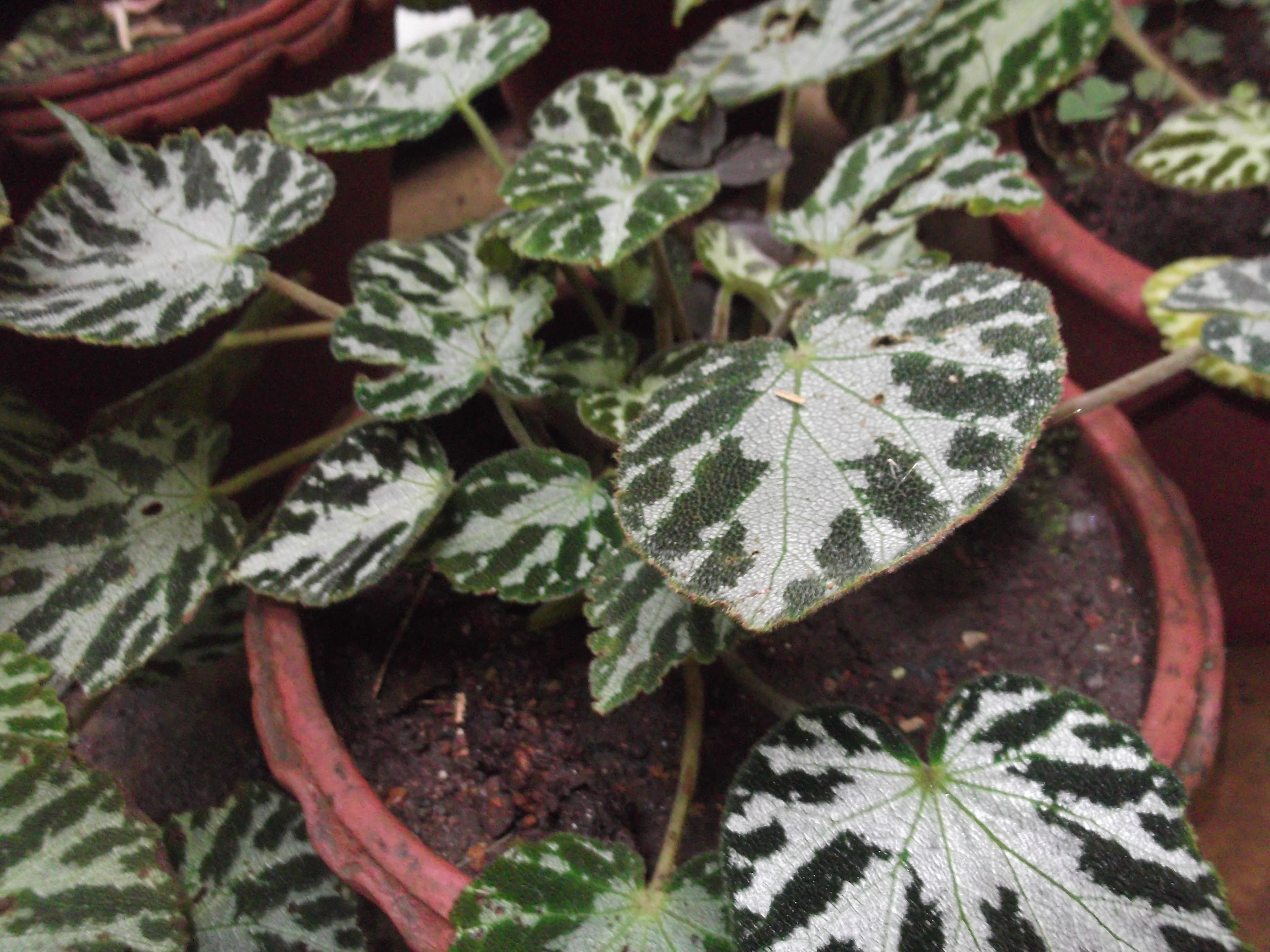 Begonia pustulata