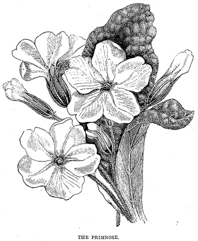 File:Black and White Primrose Drawing.jpg - Wikimedia Commons