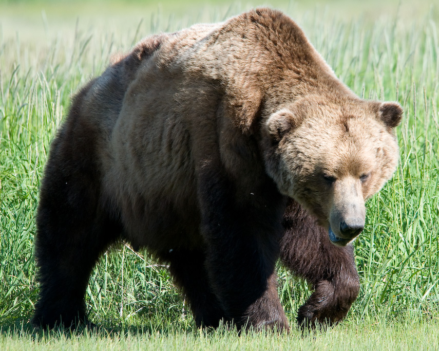 Brown bear - photo#13