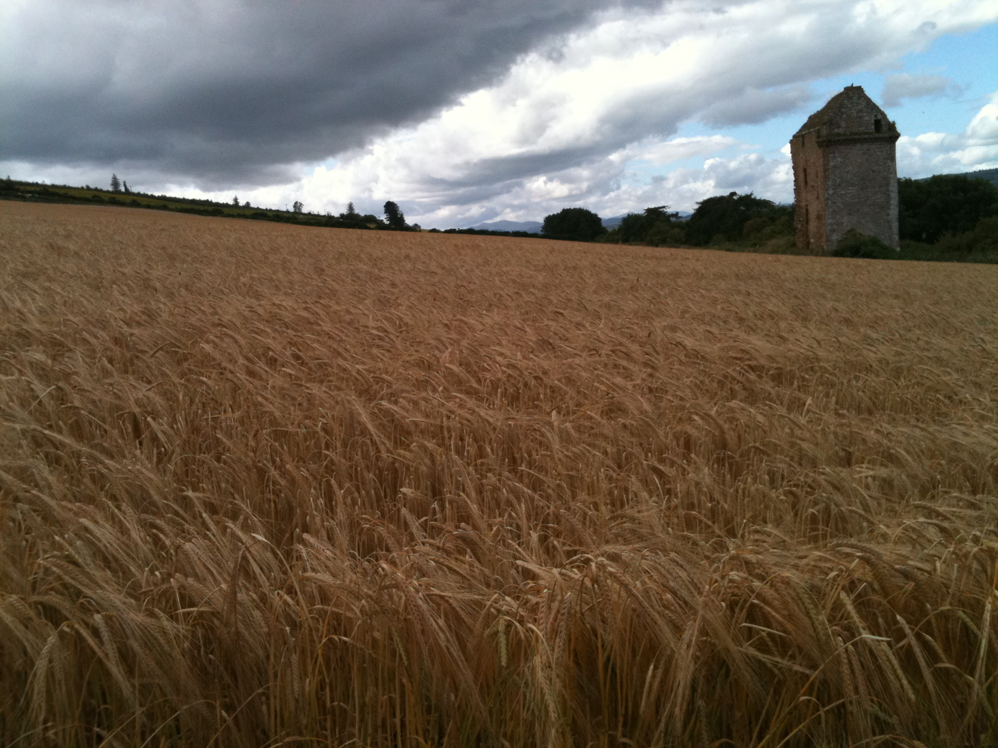 A field of wheat at Castlecraig in Scotland.
