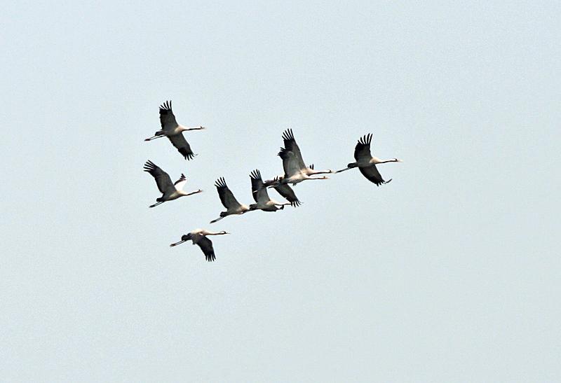Cranes in V formation flight