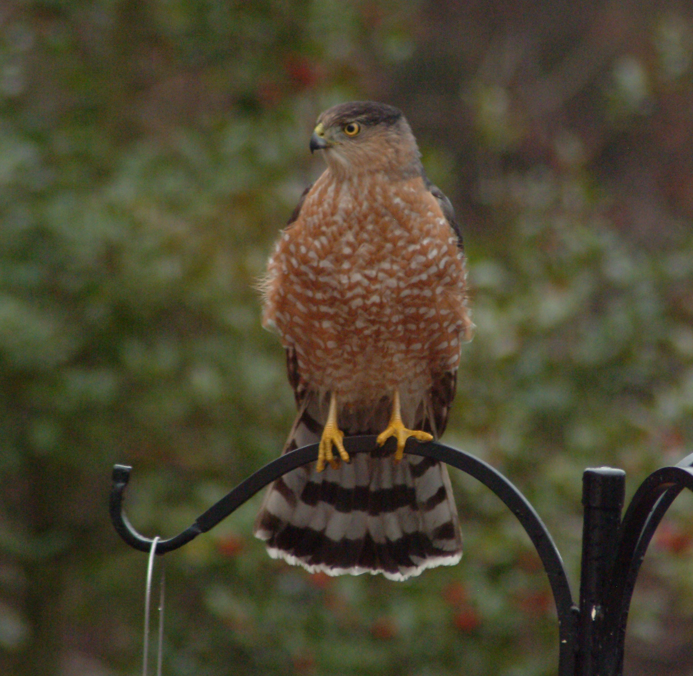 Cooper's Hawk on feeder