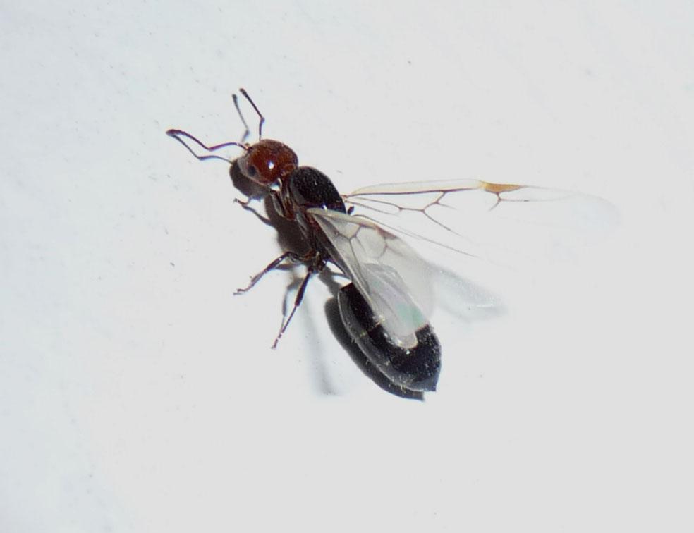 Crematogaster_scutellaris_Queen_Ant..jpg