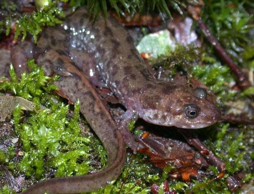 Desmognathus monticola...