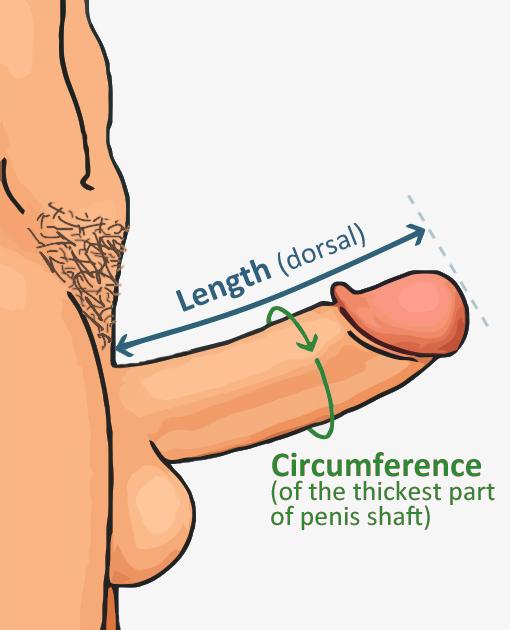 human penis scale ruler