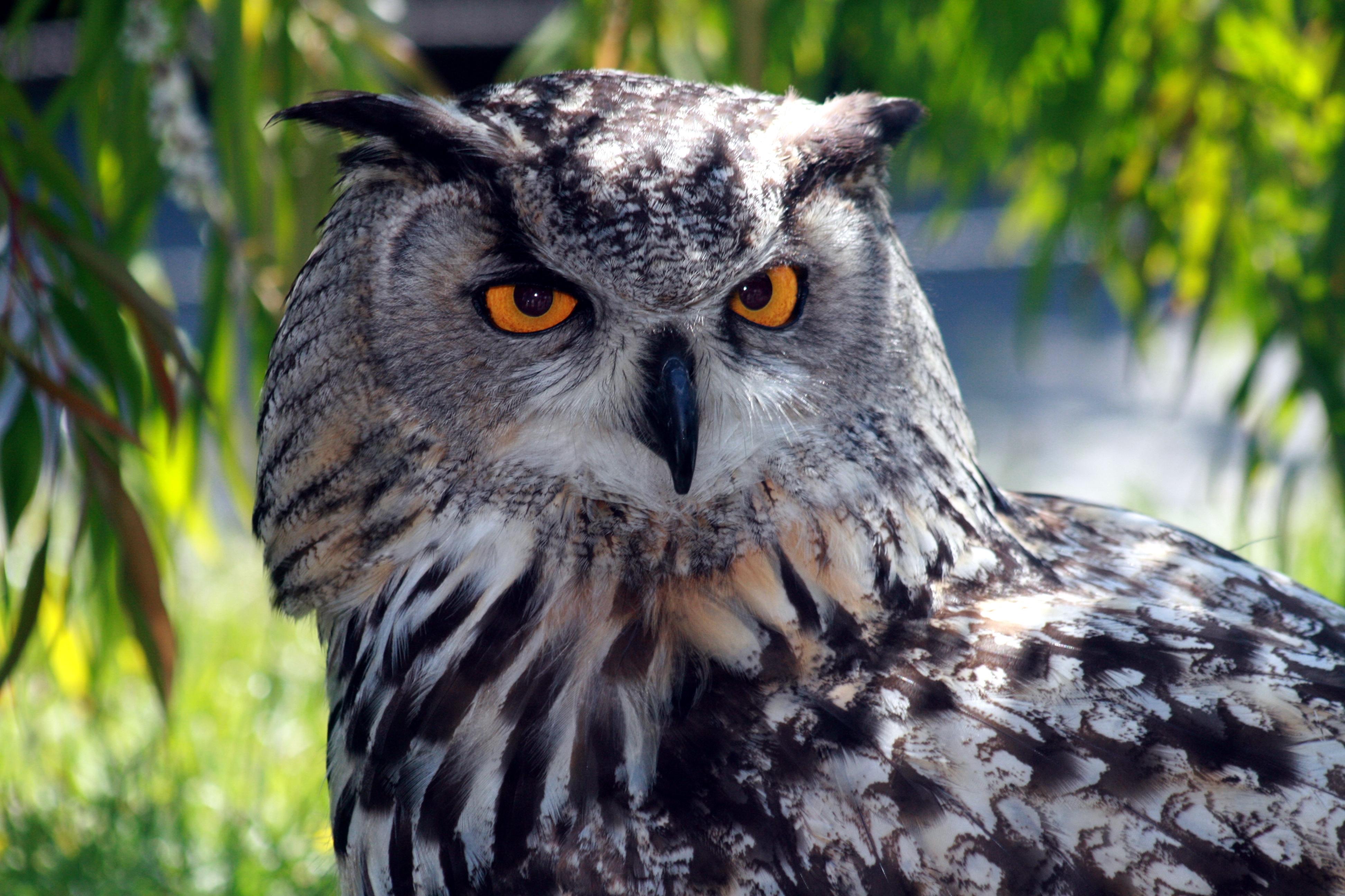 Owl  Simple English Wikipedia the free encyclopedia