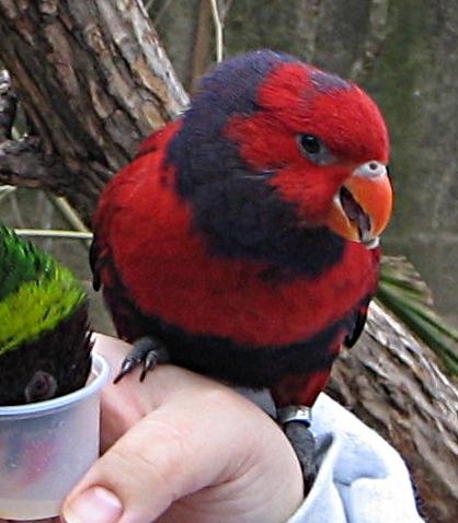 Ficheiro:Eos squamata -Fort Worth Zoo-4c.jpg
