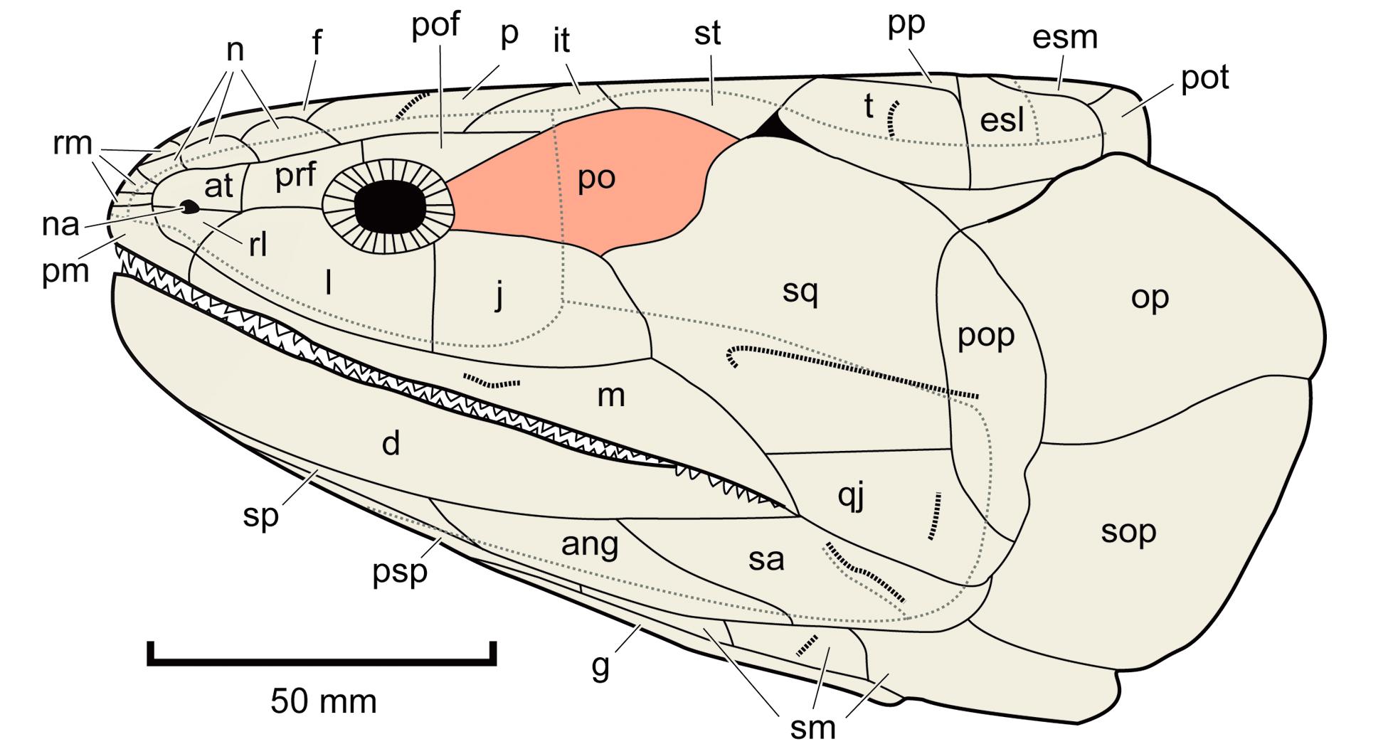 Postorbitale – Wikipedia