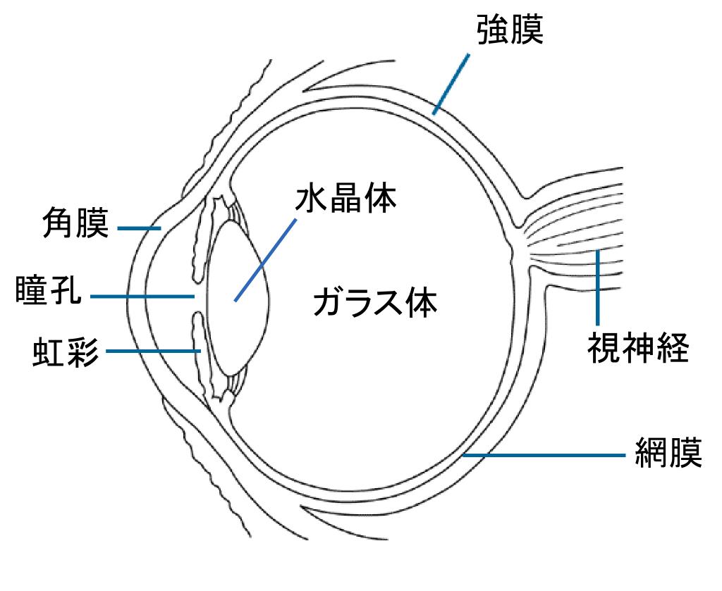 brooke plyler  human eye diagram