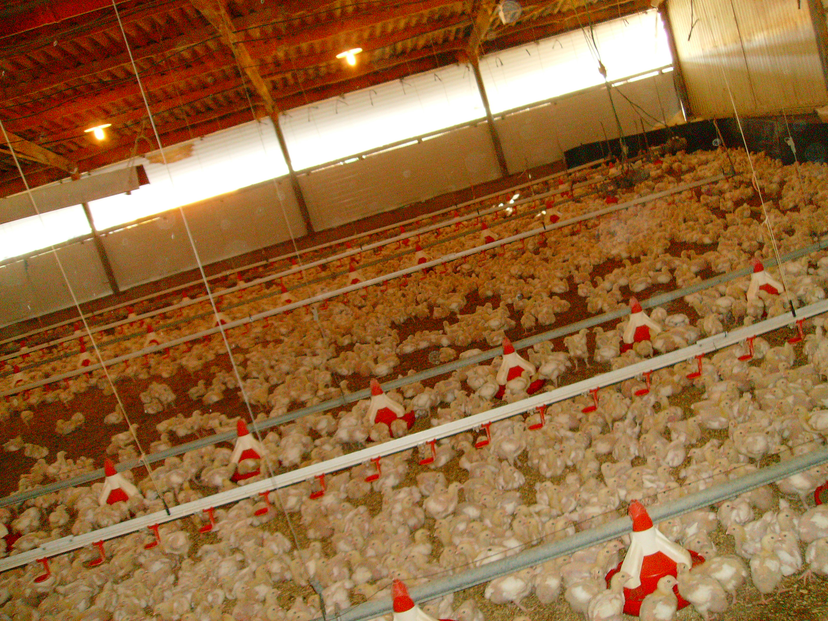 factory chicken farming As one of the uk's most popular fast food chains, it sells almost 400 pieces of chicken every minute but now conditions on the farms that supply kfc with 23million.