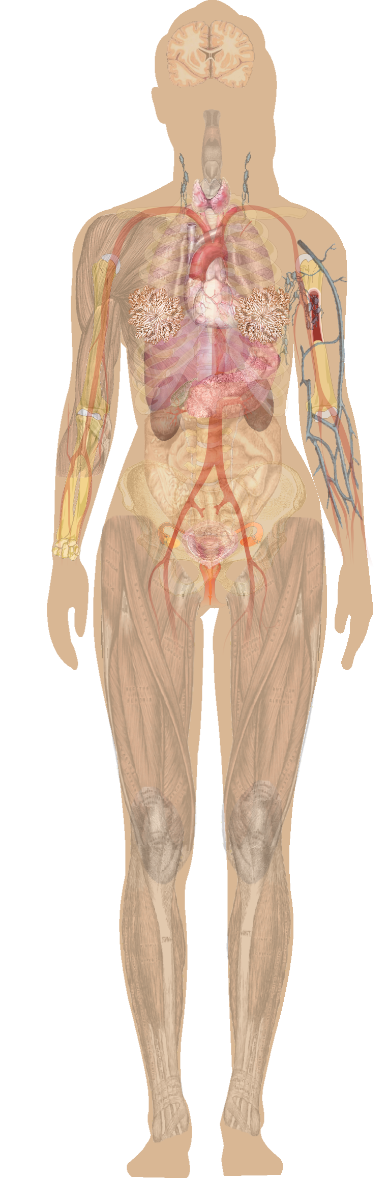Diagram of human body organs in female