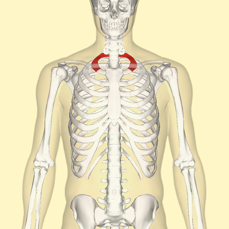 File:First rib.png - Wikimedia Commons