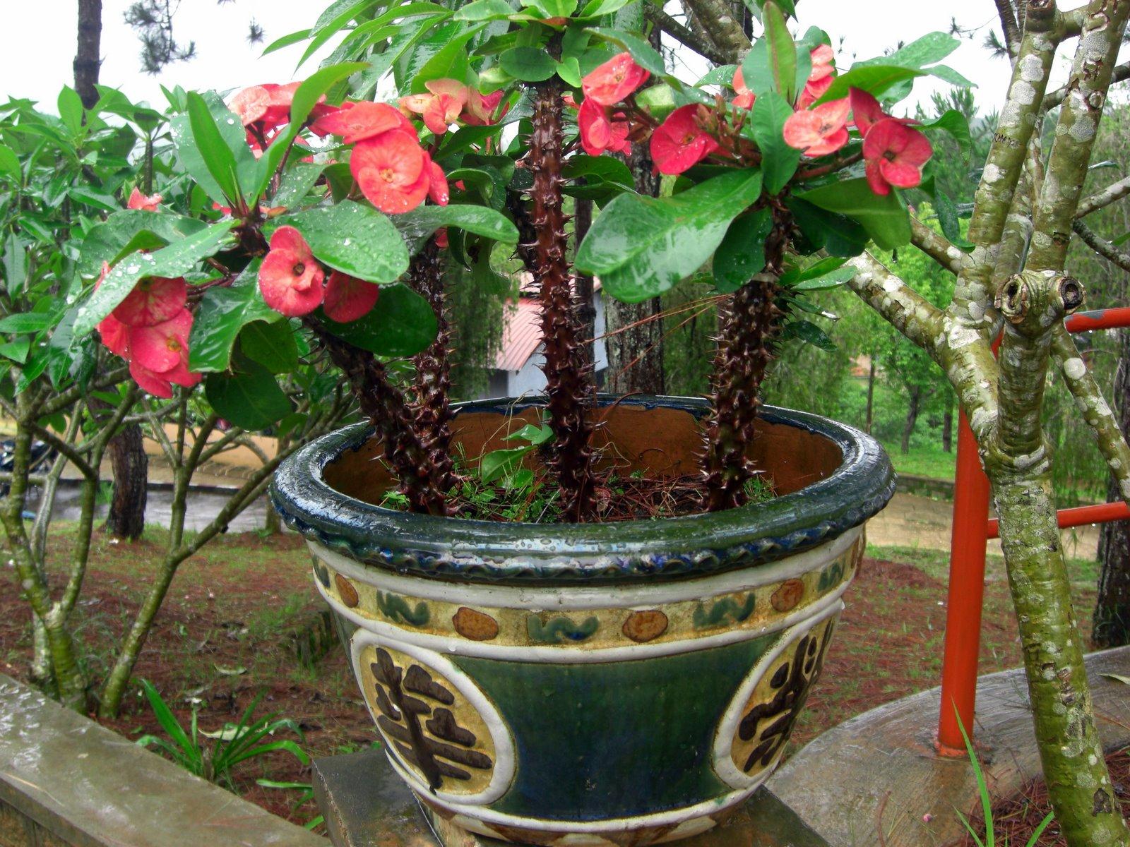 file fleurs en pot 224 dalat jpg wikimedia commons
