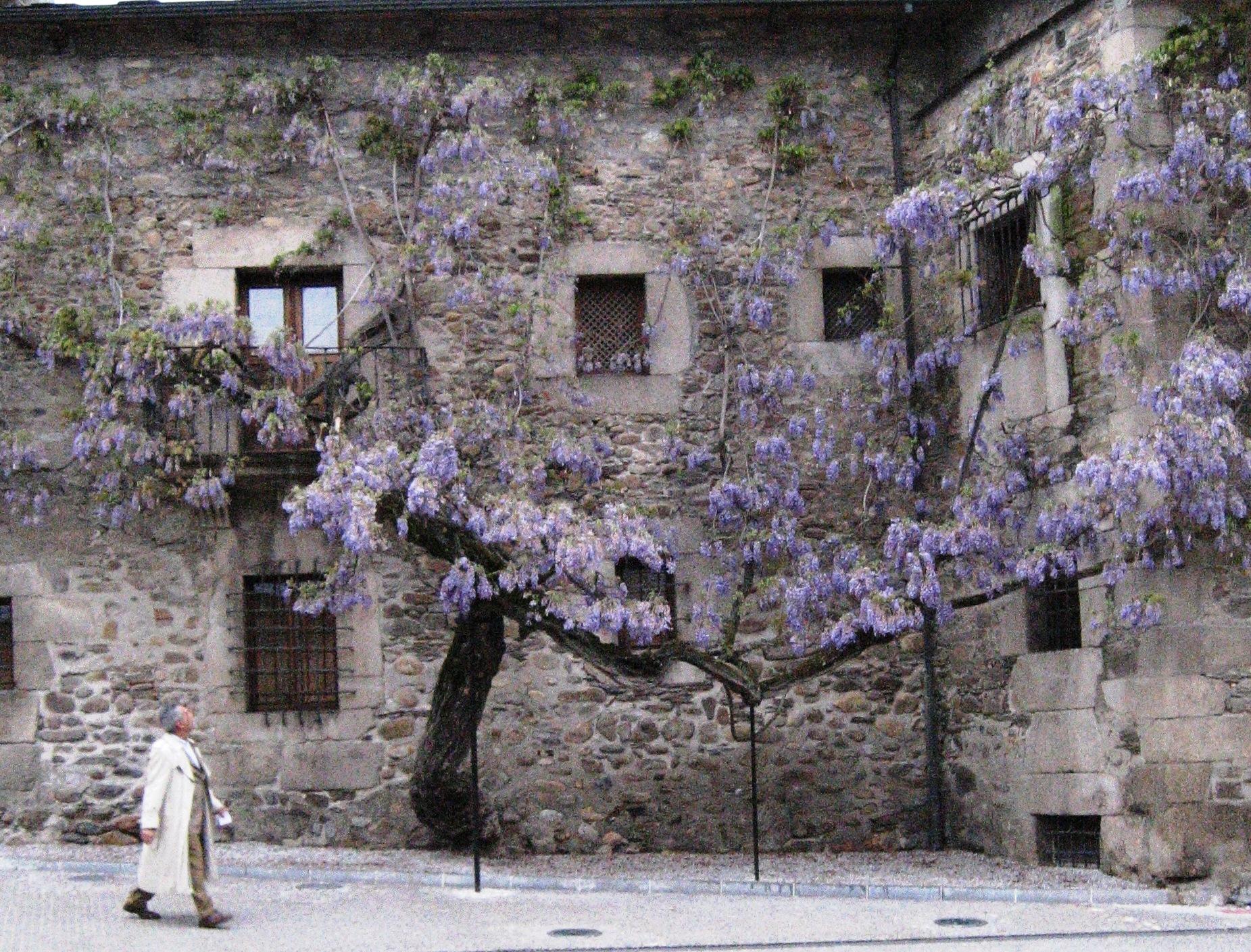 File glicina wisteria wikimedia commons - Glicinia en maceta ...