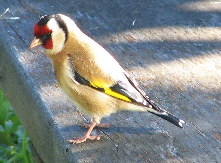 File:Goldfinch New Zealand.jpg