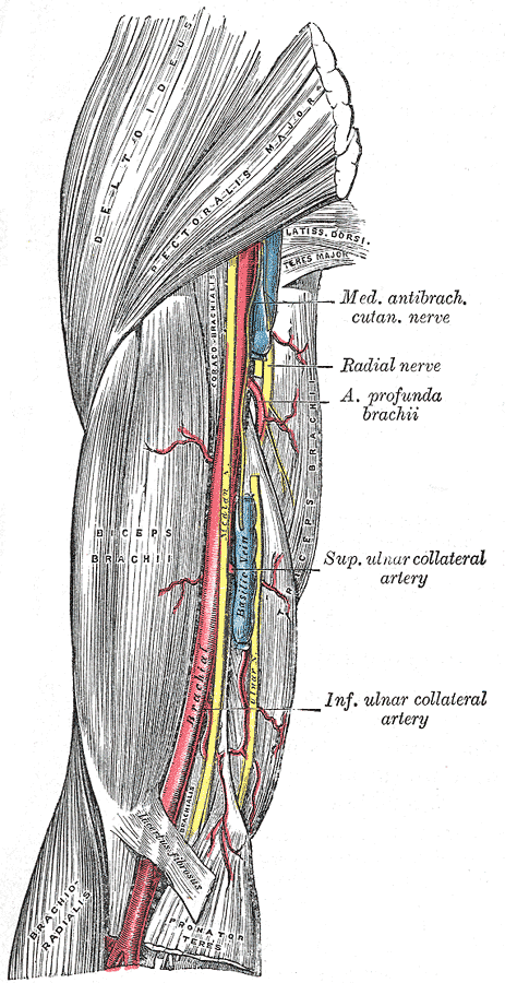 Brachial Arty, in the upper arm