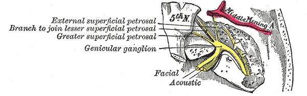 Nervus facialis anatomy