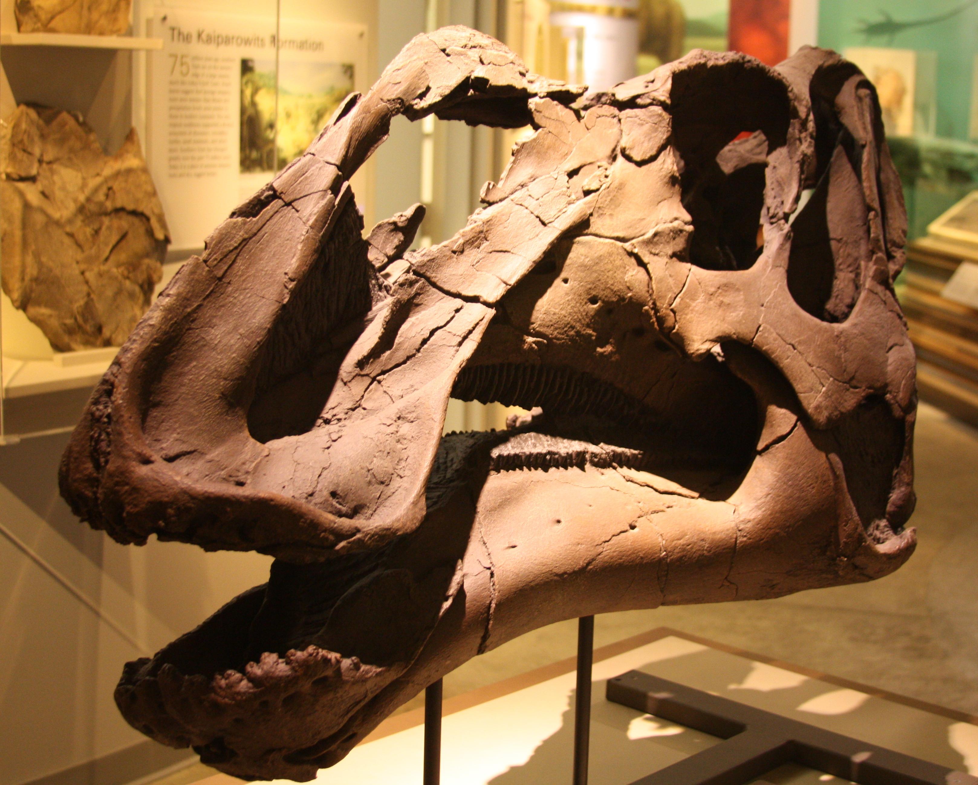 https://upload.wikimedia.org/wikipedia/commons/7/7d/Gryposaurus_Monumentsis_Skull%2C_Alf_Museum.JPG