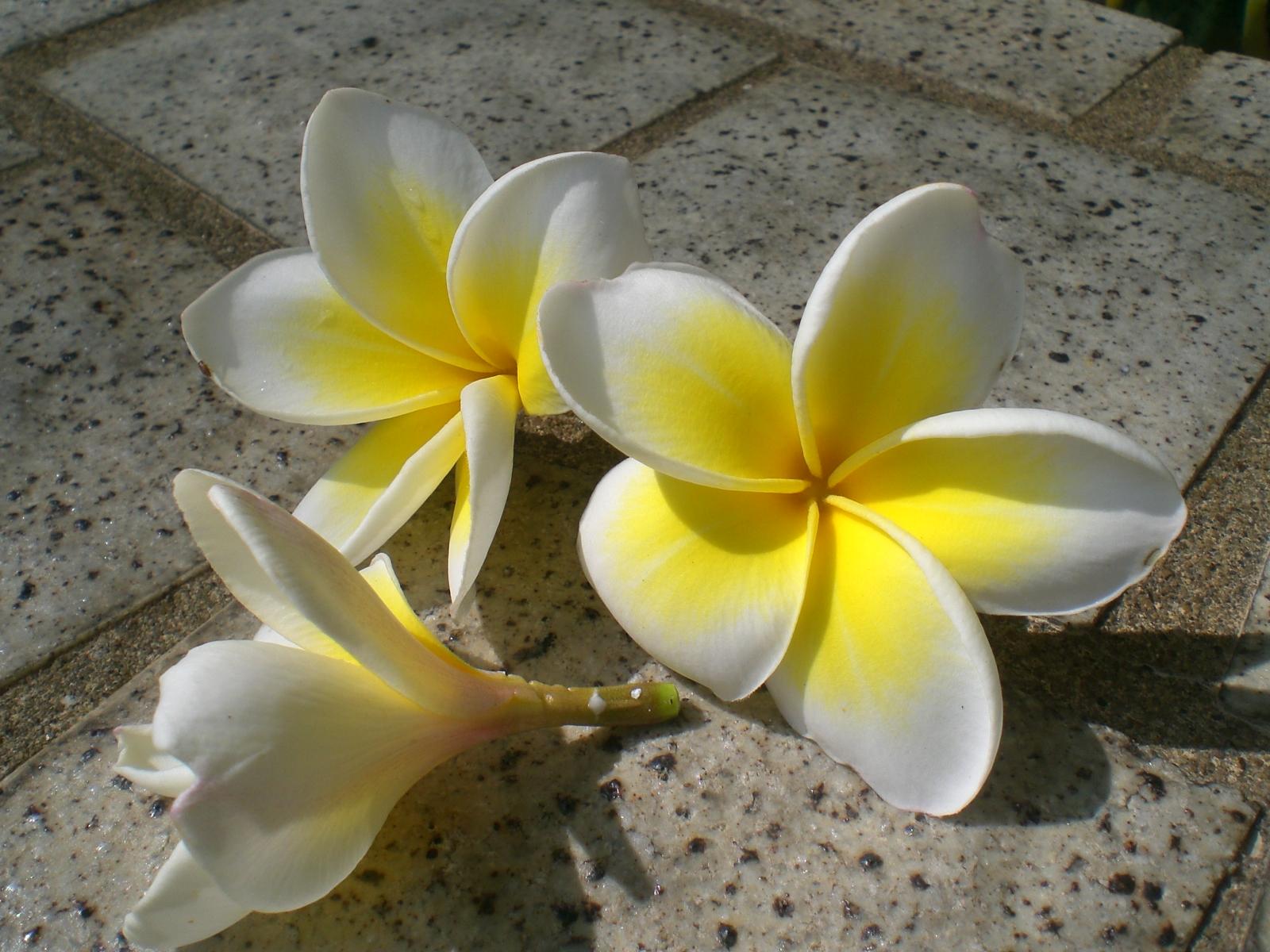 HK_Sunday_Wan_Chai_Park_White_Flowers_Plumeria - Please Pray for My Friend Robert Matson - Obituary