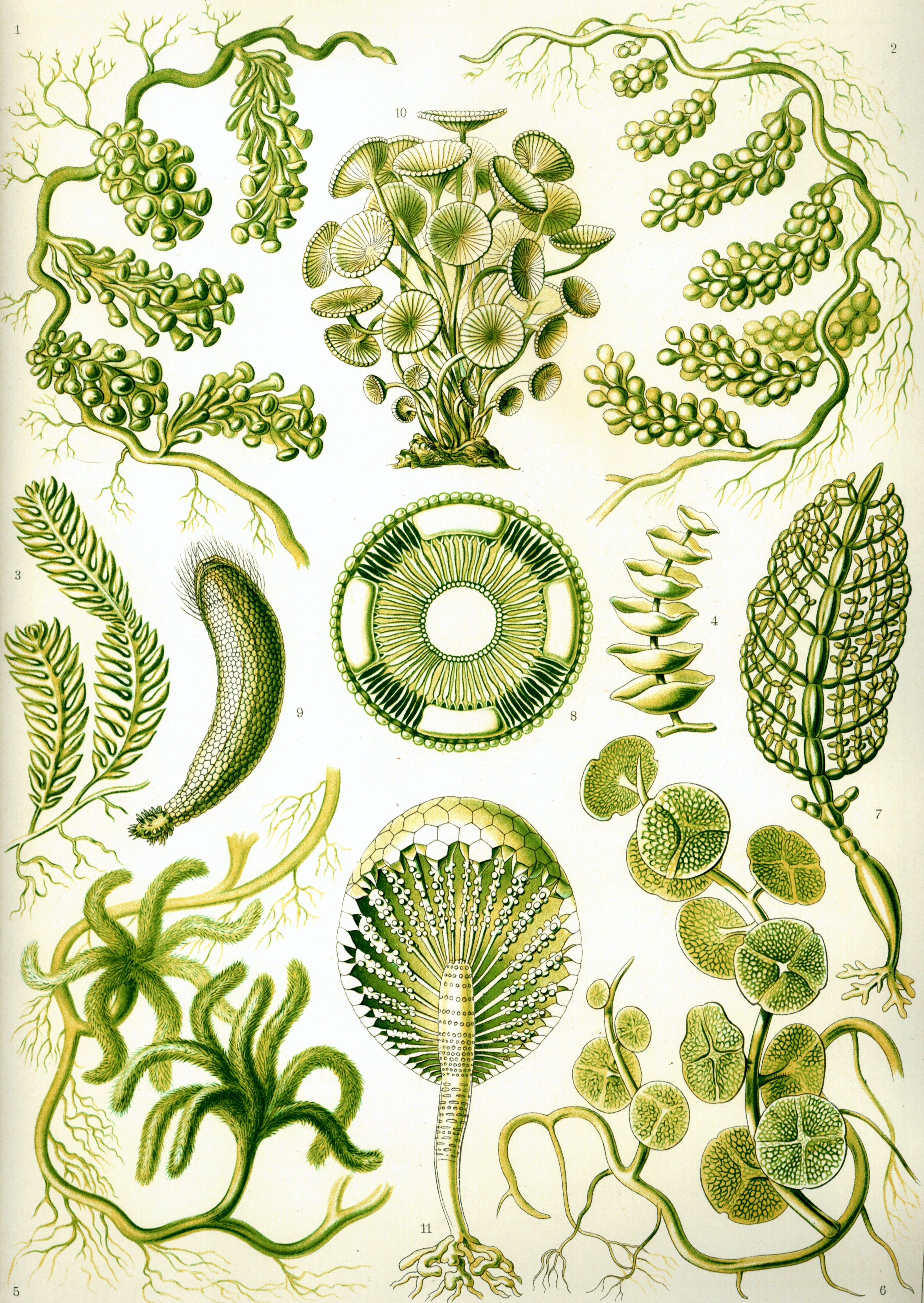 algae illustration file haeckel siphoneae jpg wikipedia 5264