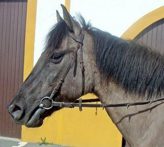 Datei:Horse head with dark mask and bridle with no noseband.jpg