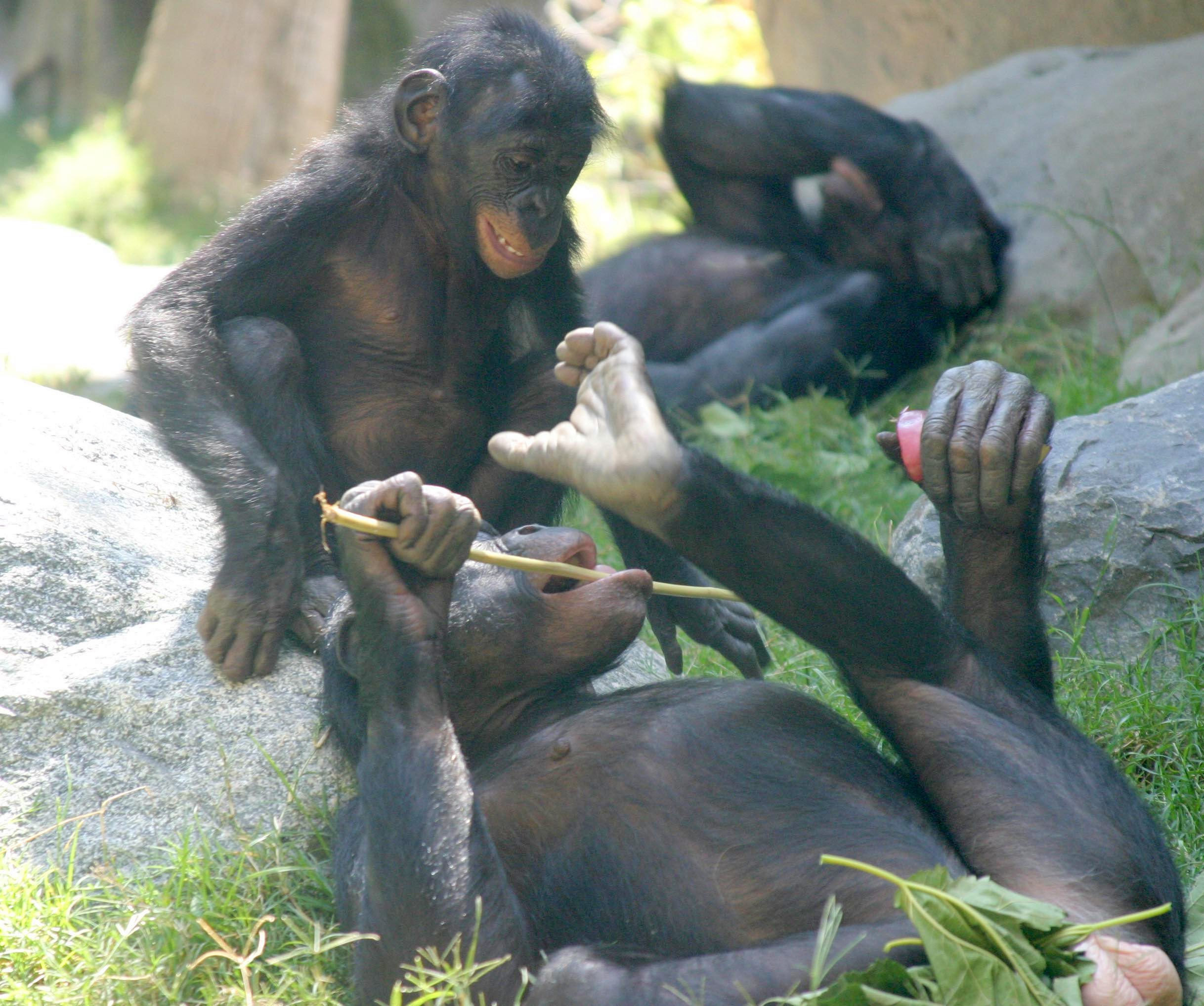 Stolen apes