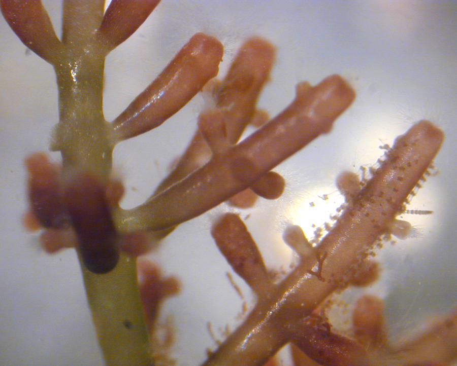 Laurencia, a genus of red algae from Hawaii