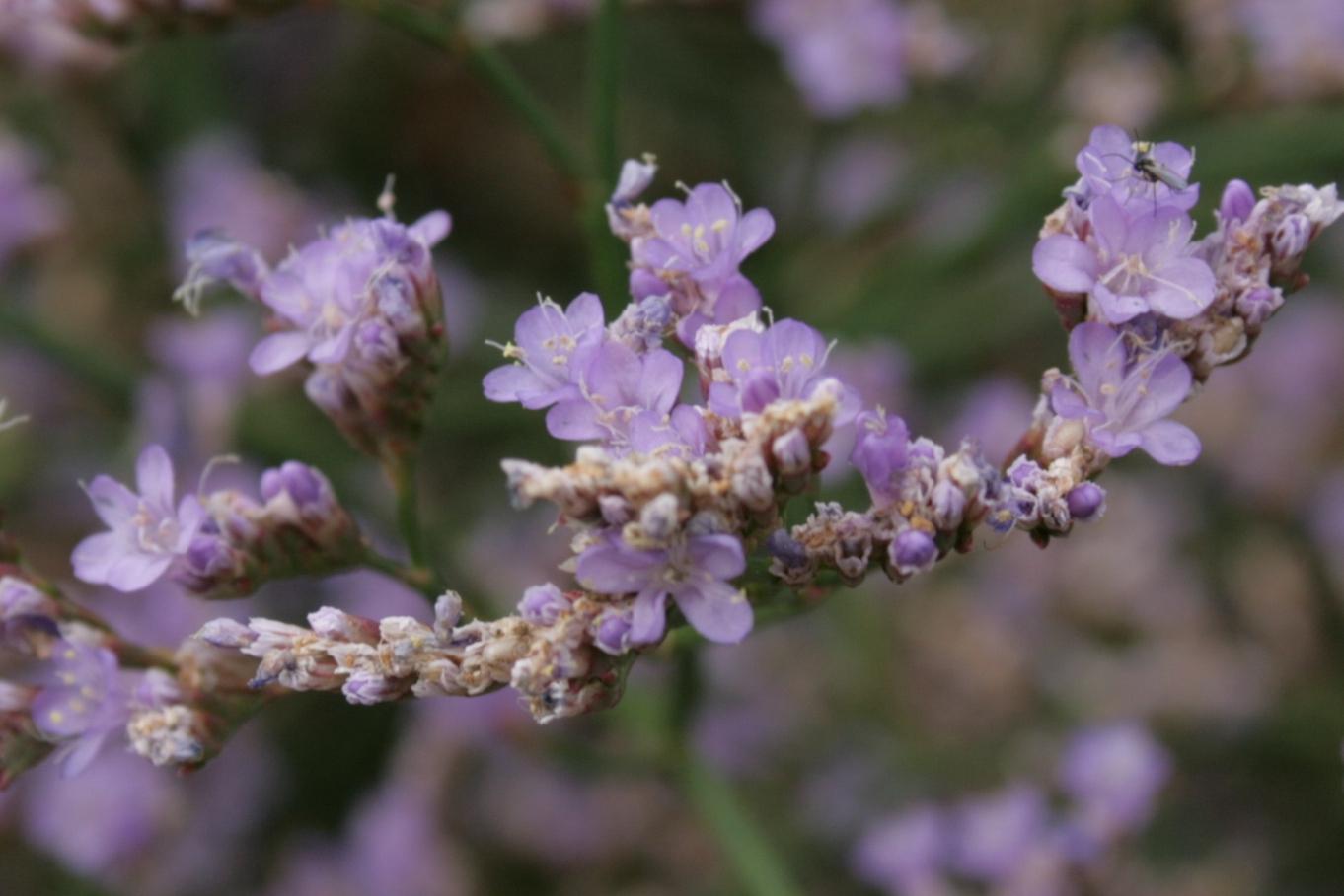 File Limonium gmelinii flowers Wikimedia mons