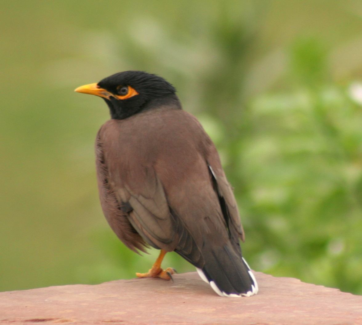 File mynah Pictures of birds