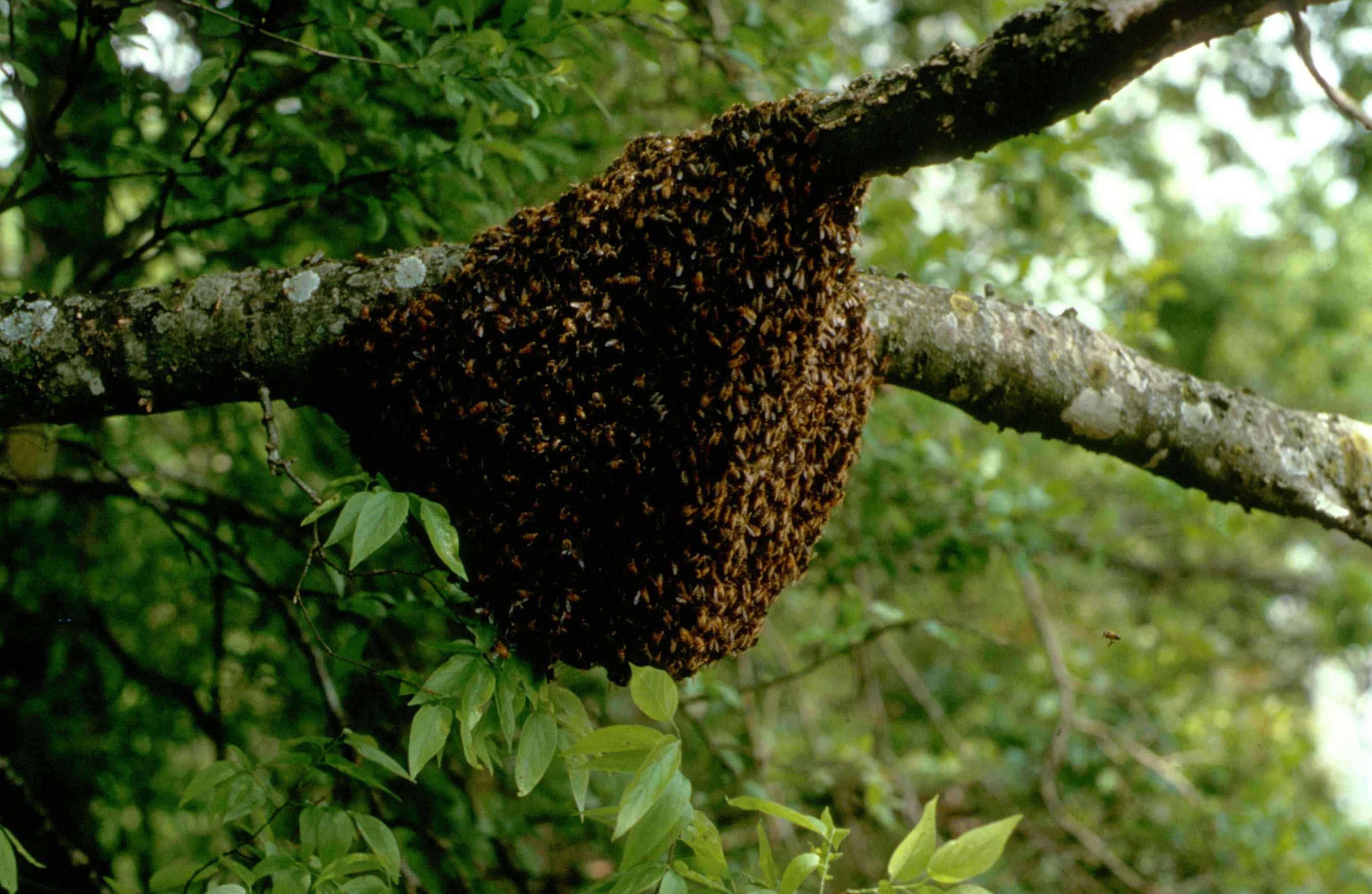 File:Nuclei of honey bees nest on a branch.jpg - Wikimedia ... - photo#35