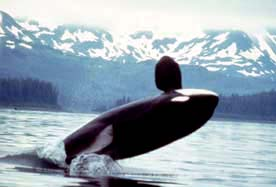 Orcas, like this one spotted near Alaska, commonly breach, often lifting their entire body out of the water.