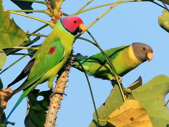 File:Pair of Plum-headed parakeet (Psittacula cyanocephala) Photograph By Shantanu Kuveskar.jpg