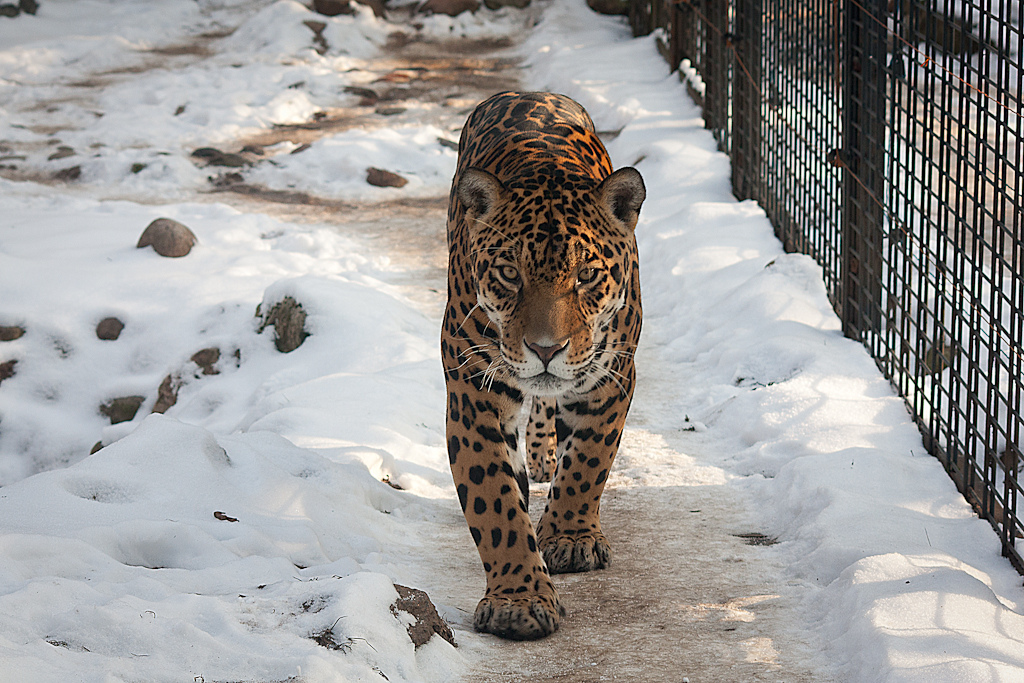 File Panthera Onca Warsaw Zoo Poland Snow 8a Jpg