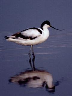 Bec d'alena (Recurvirostra avosetta)
