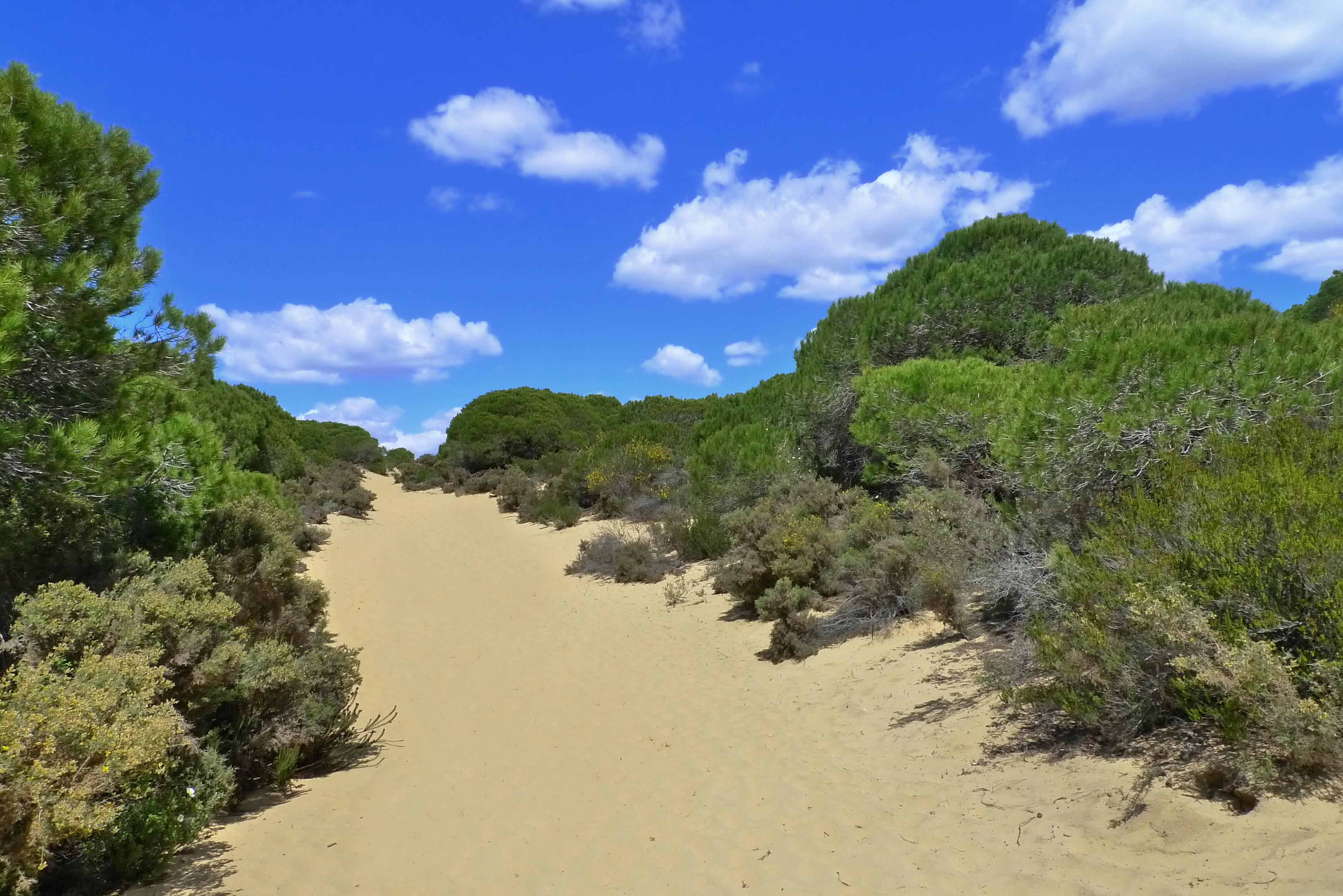 File:Pinus pinea Doñana 2.jpg