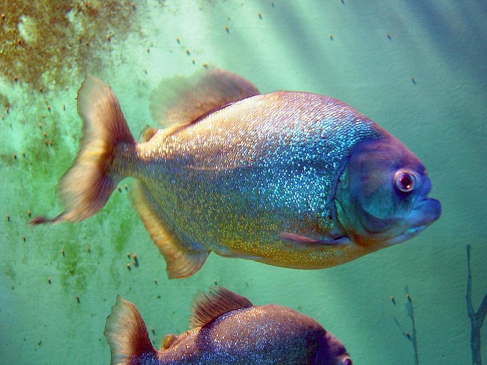 Serrasalminae wikipedia for Immagini di pesci da stampare