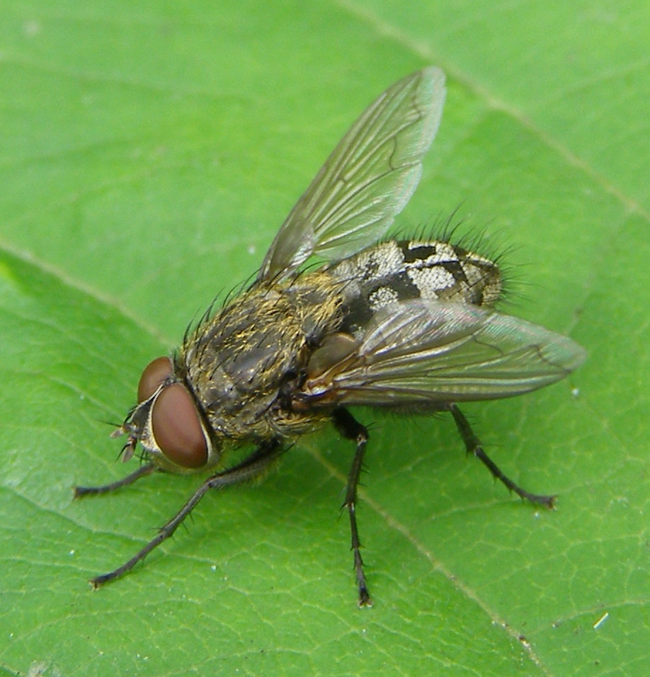 Cluster fly - Wikipedia
