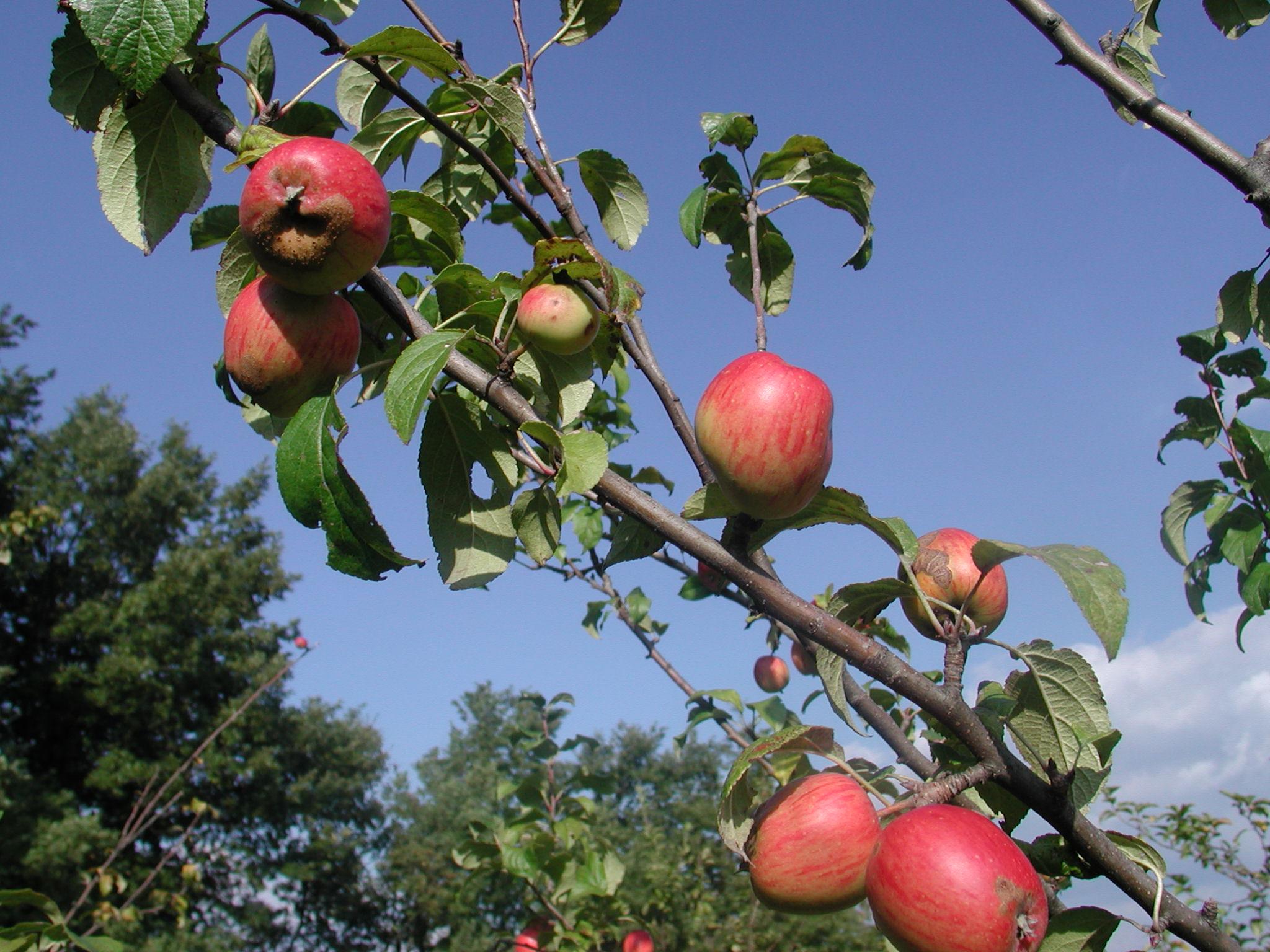 Piante Di Melo : File ramo di melo g wikimedia commons