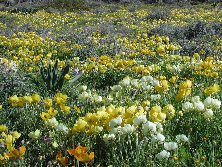 File:Ranunculus asiaticus3LEST.jpg