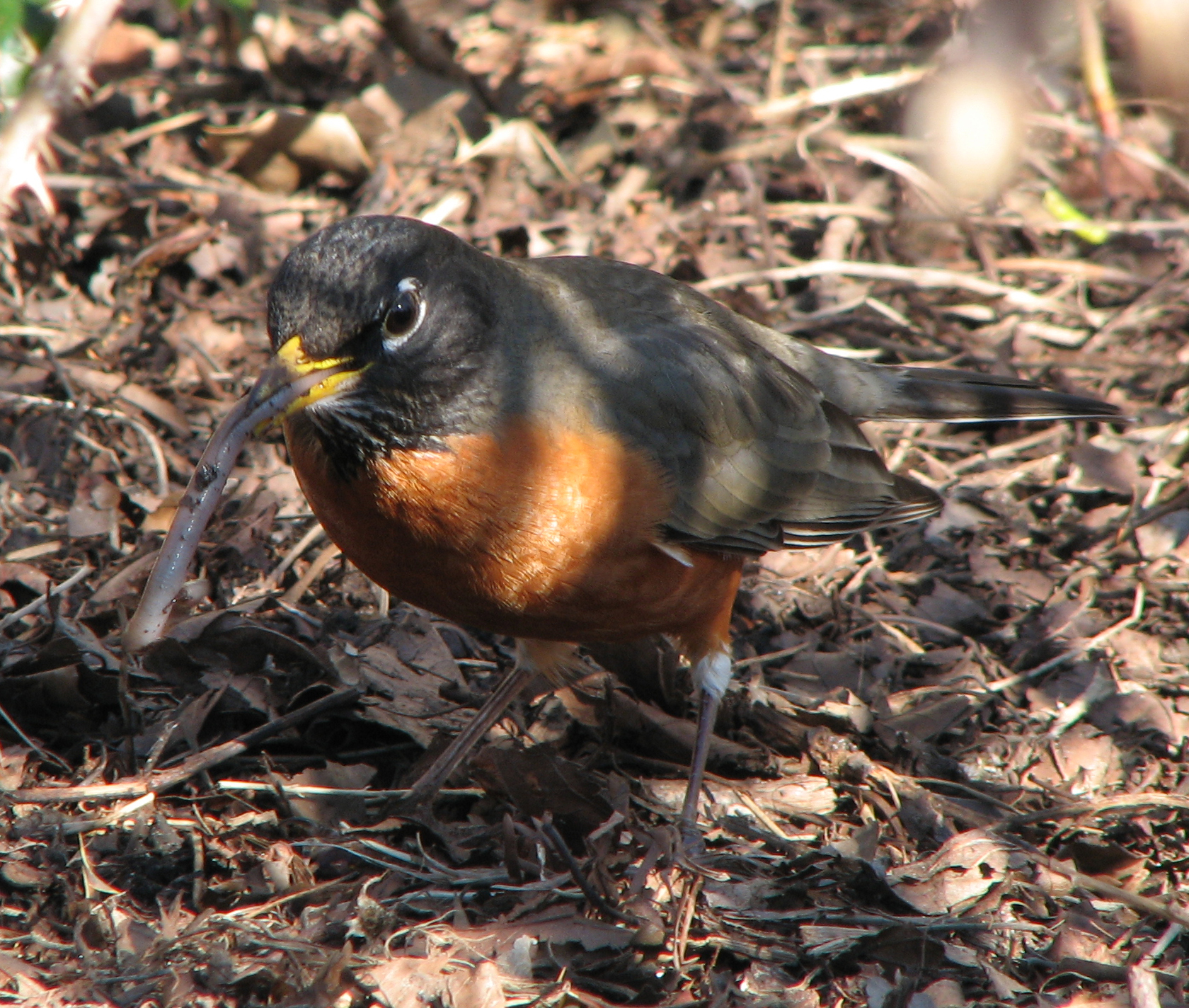 Image result for how long do Robins live
