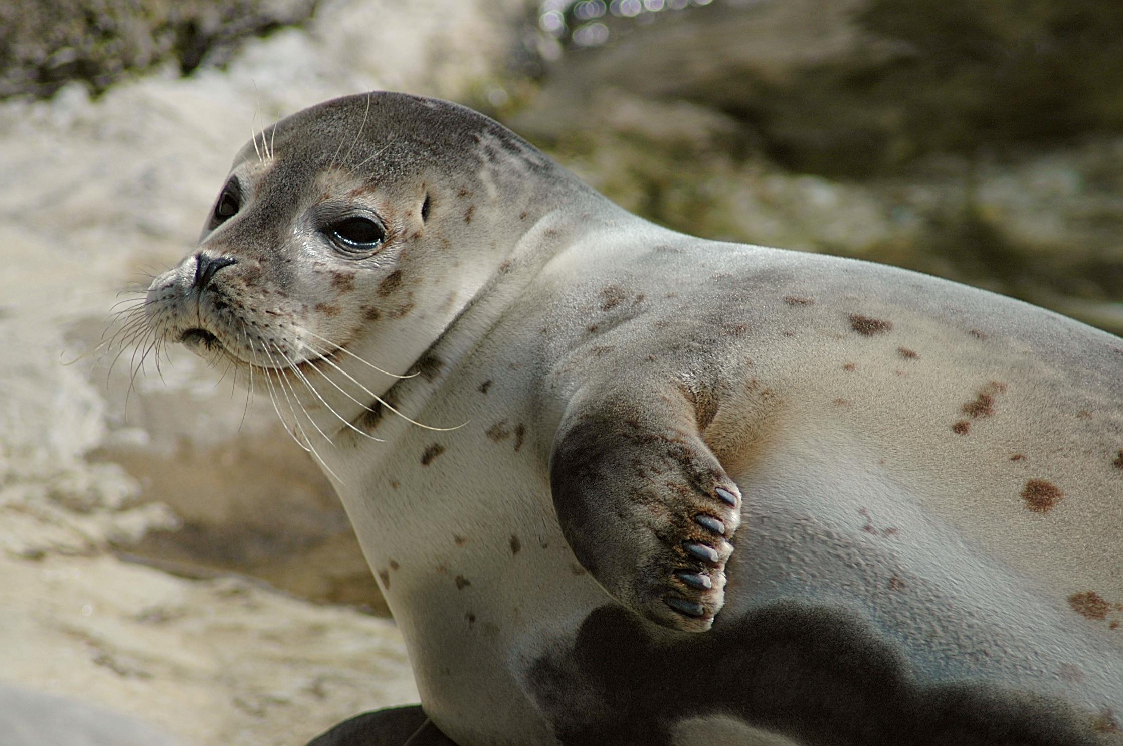 где живут тюлени и гагарки
