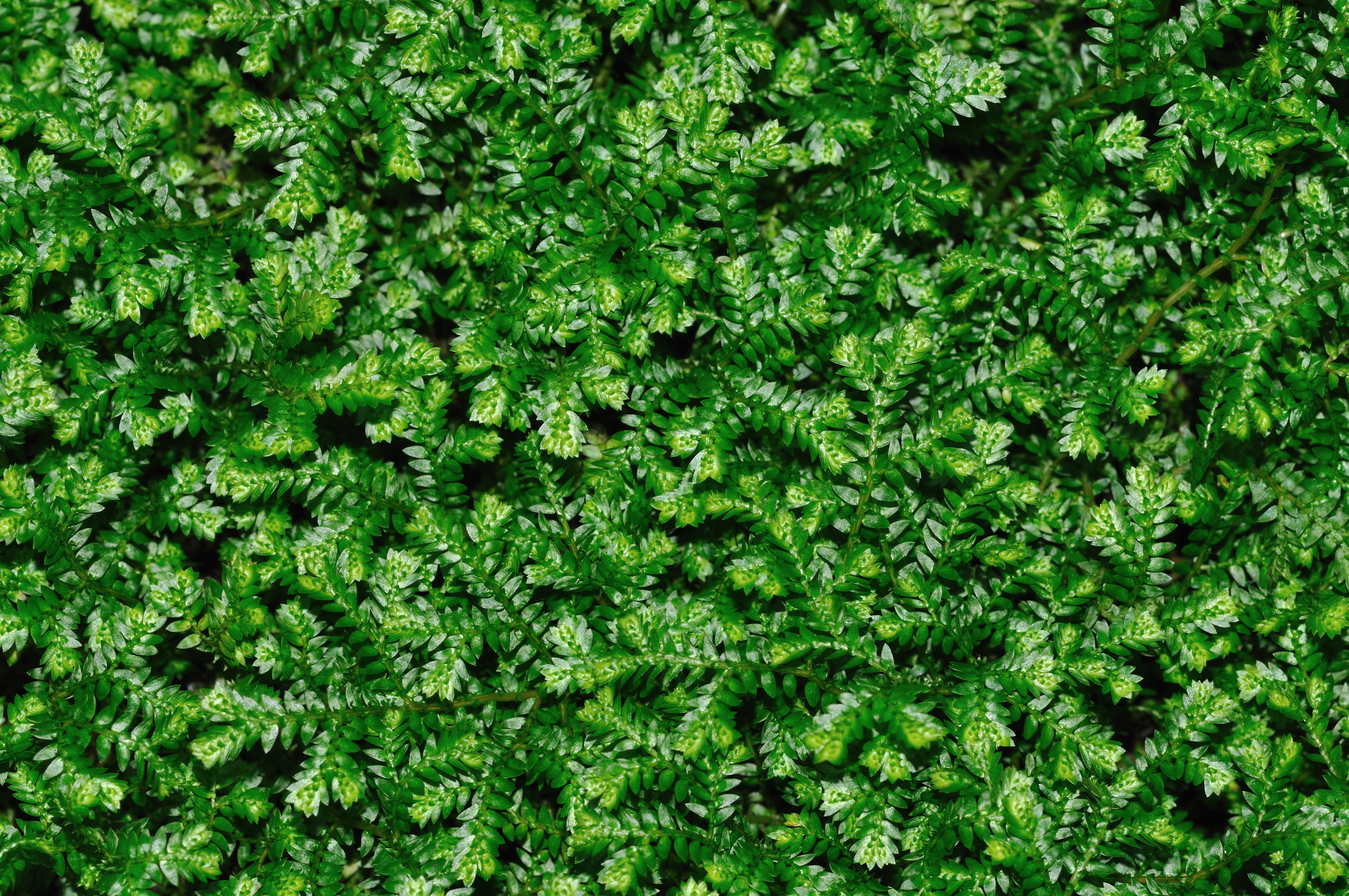 Tiny Plant Selaginella Kraussiana