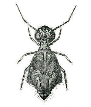Sminthurus viridis - Wikipedia