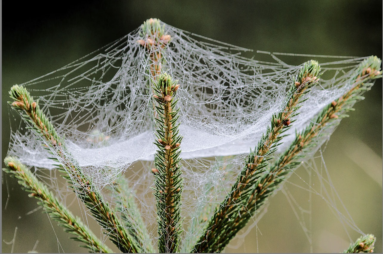 Spinnennetz Wikipedia