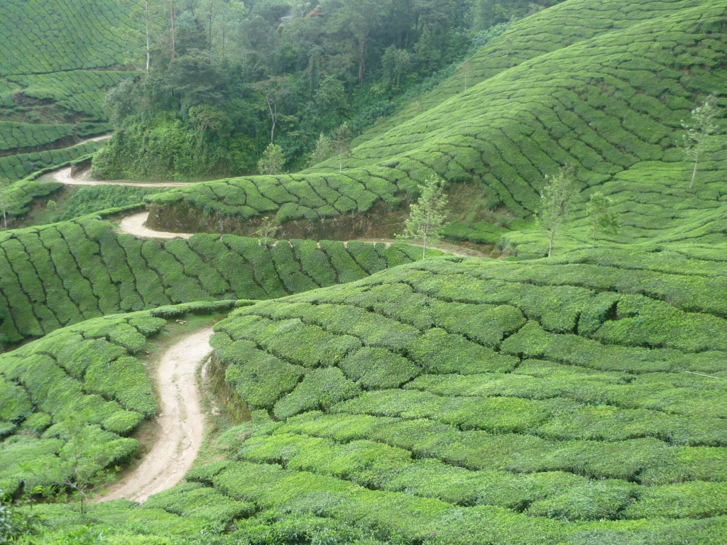 चित्र:Tea Plantation in Southern India.jpg - विकिपिडिया