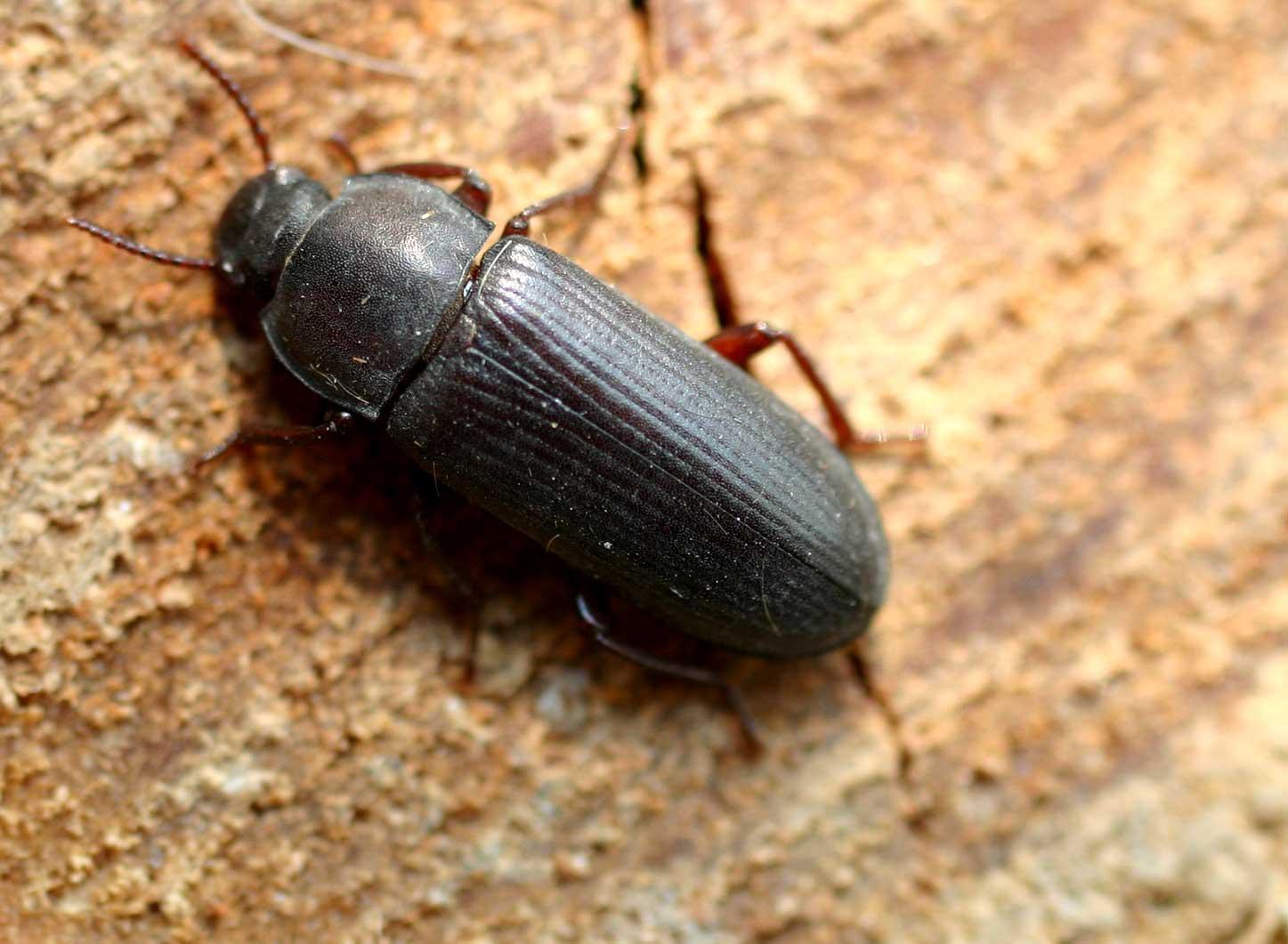 Escarabajo del gusano de la harina (Tenebrio molitor)